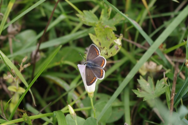 A picture of a butterfly in our wild flower meadow at Anstey Grove Barn bed and breakfast and self-catering accommodation in Hertfordshire