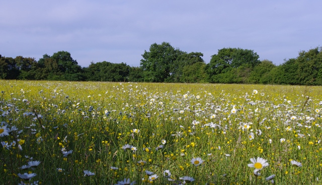 The wildflower meadow at Anstey Grove Barn